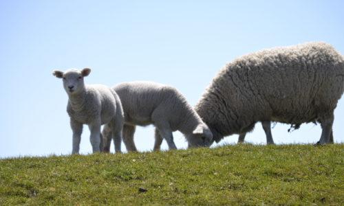 Schafe auf dem Deich in Büsum